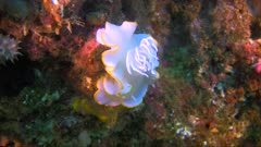 Nudibranch Ardeadoris egretta on a coral in the Philippines