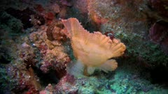 Leaf scorpionfish, Taenianotus Triacanthus on a reef in the Philippines