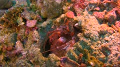 Peacock Mantis shrimp, Odontodactylus scyllarus on a reef in the Philippines