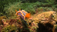 Nudibranch Chromodoris magnifica on a coral reef in Philippines