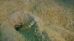 Small goby on the ocean floor