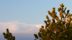 Spruce tree with a cloudy sky during sunset
