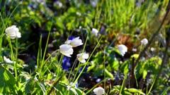 Flowering thimbleweed, Anemone nemorosa  during spring in Sweden