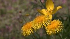 Wildflower Dandelion, Taraxacum officinale on a sunny spring day