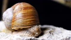 Burgundy snail, Helix pomatia on a limestone isolated over black background