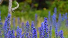 Blueweed, Echium vulgar wildflower during sunrise at the island Gotland