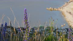 Blueweed in full blossom with ocean in the background