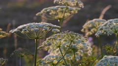 Cow Parsley, Anthriscus sylvestris during sunset in Sweden