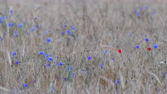 Farmland with harvest ready Wheat, Tritium Aestivum