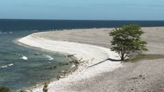 Tree growing on a limestone beach next to the Baltic sea in Sweden