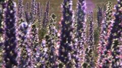 Blooming summer wildflowers Blueweed, Echium vulgare on the island of Gotland in Sweden