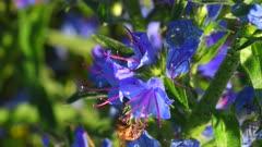 Blueweed - Viper's Bugloss, Echium vulgare wildflowers in full blossom