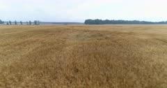 Aerial view over ripening farmland with Barley, Hordeum vulgar L