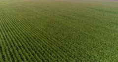 Aerial view over agriculture landscape with corn