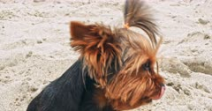 Small Yorkshire terrier on a sandy beach at summer time
