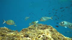 Various species of Mediterranean fish underwater( seabreams with damselfish ) between rock and water surface, marine reserve of Cerbere Banyuls, Pyrenees-Orientales, Roussillon, France