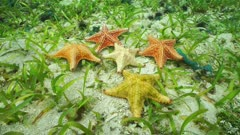 Diversity of colors of Cushion sea stars Oreaster reticulatus, underwater, moving on the seabed, Caribbean sea, Bahamas