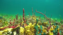 Colorful sponges underwater on the seabed of the Caribbean sea with tropical fish