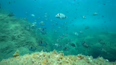 Many fish underwater in the Mediterranean sea (two-banded seabreams, Diplodus vulgaris), France, Occitanie, Pyrenees-Orientales