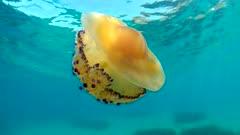 A Mediterranean jellyfish, Cotylorhiza tuberculata, underwater near sea surface, French Riviera, France