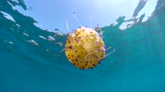 Cotylorhiza tuberculata jellyfish tentacles below water surface in the Mediterranean sea, French Riviera, France
