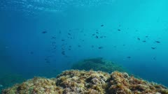 Mediterranean sea shoal of fish, damselfish Chromis chromis between rocks and water surface, underwater scene, natural light, Cote d'Azur, France