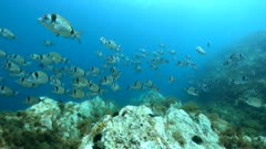 Fish school underwater in Mediterranean sea, two-banded seabream Diplodus vulgaris, France, Occitanie, Pyrenees-Orientales