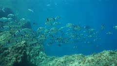 School of fish underwater, common two-banded seabream Diplodus vulgaris, Mediterranean sea, marine reserve of Cerbere Banyuls, Vermilion coast, Pyrenees-Orientales, Roussillon, France