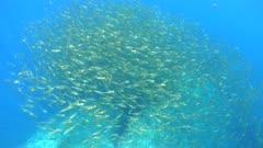 A large school of fish (Sarpa salpa) underwater in the Mediterranean sea, Occitanie, France