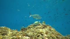 Mediterranean fishes in the sea ( seabreams with damselfish ), underwater scene, France