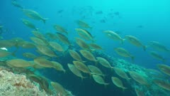 Underwater Mediterranean fishes with salema porgy sea bream schooling in foreground, marine reserve of Cerbere Banyuls, Pyrenees-Orientales, Roussillon, France