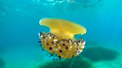Mediterranean jellyfish in the sea, Cotylorhiza tuberculata, underwater scene, French Riviera, France