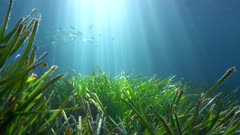Seagrass underwater with natural sunlight and fish in background, Mediterranean sea, France