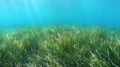 Seabed covered by seagrass underwater sea, Mediterranean, French Riviera, Port-Cros, Var, France