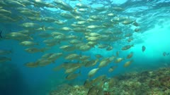 A school of fish sea bream dreamfish, Sarpa salpa, underwater in the Mediterranean sea, marine reserve of Cerbere Banyuls, Pyrenees-Orientales, Roussillon, France