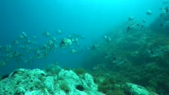 School of fish underwater, two-banded sea bream, Diplodus vulgaris, in Mediterranean sea, France