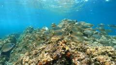 Seabreams fish school underwater in Mediterranean sea (dreamfish with some white seabream), France, Occitanie