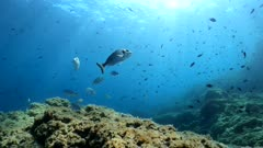 Seascape underwater, many fish in the Mediterranean sea, France, Occitanie, Pyrenees-Orientales