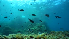 Underwater seascape, rocky seabed with many fish below water surface in the Mediterranean sea, France, Occitanie, Pyrenees-Orientales