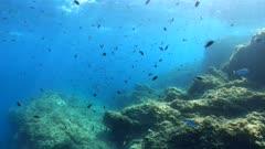 Underwater seascape, fish shoal (damselfish) and rock near water surface in the Mediterranean sea, France, Occitanie, Pyrenees-Orientales