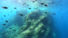 Underwater seascape, many fish (damselfish and seabreams) and rock near water surface in the Mediterranean sea, France, Occitanie, Pyrenees-Orientales