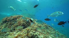 Shoal of fish (seabreams and damselfish) underwater in the Mediterranean sea, static scene, Pyrenees-Orientales, Occitanie, France