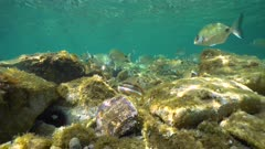 Underwater shoal of Mediterranean fishes with rocks in shallow water in the sea, static scene, Pyrenees-Orientales, Occitanie, France