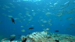 Shoal of fish underwater (mostly saddled seabream) in the Mediterranean sea, static scene, Cap de Creus, Costa Brava, Catalonia, Spain