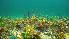 Underwater marine life, colorful sponges on the seabed of the Caribbean sea with fish (striped parrotfish)