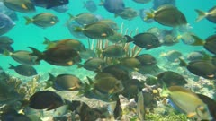 Shoal of fish (surgeonfish and doctorfish) in a coral reef pecking algae on the seabed in the Caribbean sea