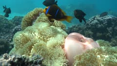 Magnificent sea anemones with an orange-fin anemonefish, underwater in the lagoon of Moorea, Pacific ocean, French Polynesia