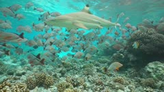 A blacktip reef shark swimming through a shoal of fish humpback red snapper on a shallow coral reef, static underwater scene, Rangiroa, Pacific ocean, French Polynesia