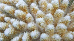 Close up of table coral, Acropora hyacinthus, Huahine lagoon, Pacific ocean, French Polynesia