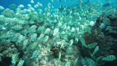 Tropical fish school underwater, convict tang, Acanthurus triostegus, feeding on the ocean floor, Tuamotu archipelago, Pacific ocean, French Polynesia